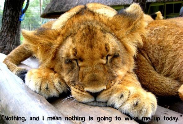 Lion Sleeps